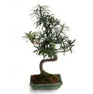 Bonsai Podocarpus Plant