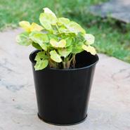 Small Syngonium Plant