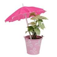 Syngonium Plant N Planter
