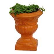 Fresh Sedum Plant