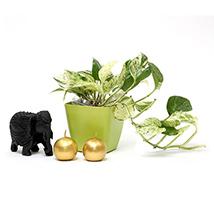 Moneyplant with elephant