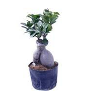 Ficus Microcarpa 100gm