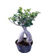 Ficus Microcarpa 200gm