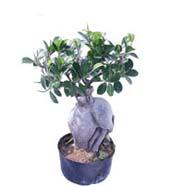 Ficus Microcarpa 300gm