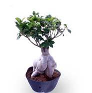 Ficus Microcarpa 500gm