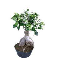 Ficus Microcarpa 1000gm